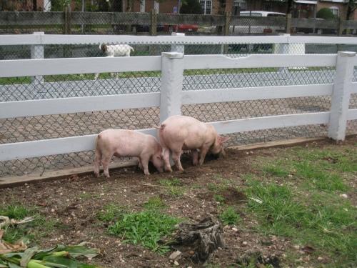 Pig Friends